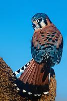 553710007 a wildlife rescue male american kestrel falco sparverius perches on a dead flower stalk in central colorado