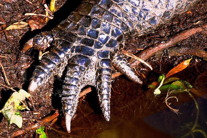 Close-up of american alligator foot. Orlando Florida.