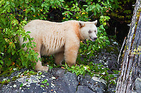 "Kermode ""Spirit"" Bear eating crab apples along the shore of Gibble Island"
