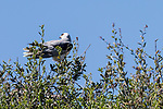 Rose Canyon, San Diego, California; an adult White-tailed Kite (Elanus leucurus) perched above its nest after delivering food to its two chicks