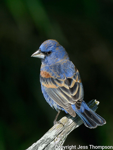 Blue Grosbeak, El Tecalote Ranch, Texas