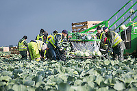 Harvesting Dutch White Cabbage with a VHS 'Cabbage Monster' harvesting rig - Lincolnshire, November