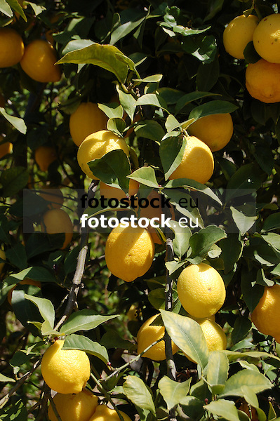 ripe lemons at a lemon tree in a garden of the Sóller valley, Majorca<br /> <br /> limones maduros en un limonero en la huerta del valle de Sóller, Mallorca<br /> <br /> reife Zitronen an einem Zitronenbaum in den Gärten des Sóller-Tals auf Mallorca<br /> <br /> 3008 x 2000 px<br /> 150 dpi: 50,94 x 33,87 cm<br /> 300 dpi: 25,47 x 16,93 cm