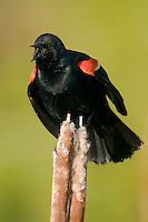 Red-winged Blackbird (Agelaius phoeniceus) - Male displaying