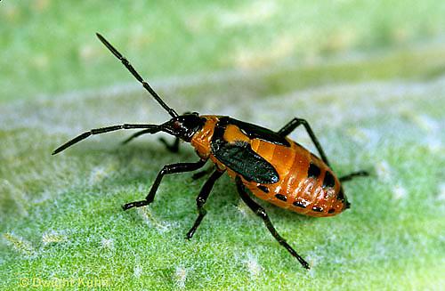 HE05-013b  Large Milkweed Bug Nymph on milkweed seed pod, Oncopeltus fasciatus.