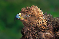 521099050 a wildlife rescue female golden eagle aquila chrysaetos rousts her feathers while on a perch at a wildlife rescue facility - species is federally threatened - this raptor is blind in one eye and not releaseable -  temujin