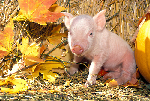 Piglet with maple leaves, straw bale and pumpkin