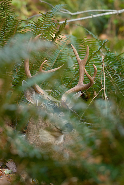 Coastal Black-tailed Deer buck (Odocoileus hemionus).  Pacific Northwest.  Fall.