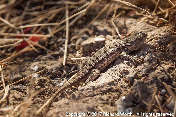 Three or four inches long, a lizard, likely a Coast Range Fence Lizard, lies motionless, blending into its surroundings along the shoreline at the Martin Luther King Jr. Regional Shoreline in Oakland, California.