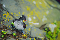 Parakeet auklet on the cliffs of St. Paul Island, Pribilof Islands, Alaska.
