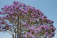 Africa, Madagascar, Ambositra city. Jacaranda tree.