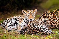 Jaguar (Panthera onca) cubs resting at mother?s flank [captive]