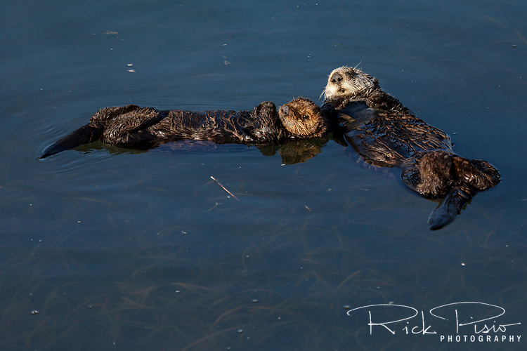 Mother sea otter and pup sleep on the waters of Morro Bay along California's coast.