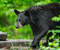 Sub-adult Black Bear (Ursus americanus) on the move through a clearing.