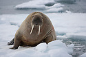 Walrus (Odobenus rosmarus) on ice floe, June, Svalbard, Norway
