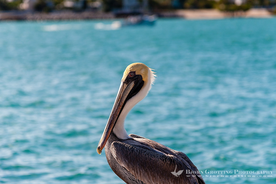 US, Florida, Key West. Adult Brown Pelican.