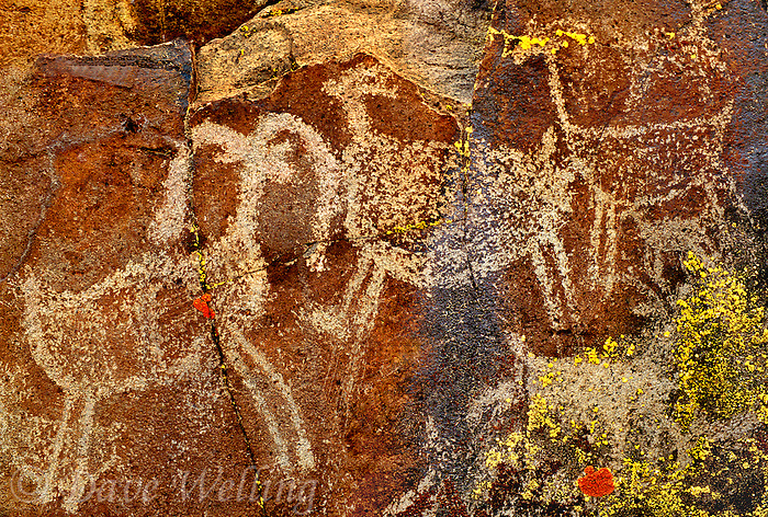 711053037 indian petroglyphs or rock art carved into reddish-colored rocks in little petroglyph canyon on the china lake naval air station near ridgecrest california