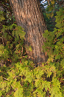 Cedar tree at Isle Royale National Park.