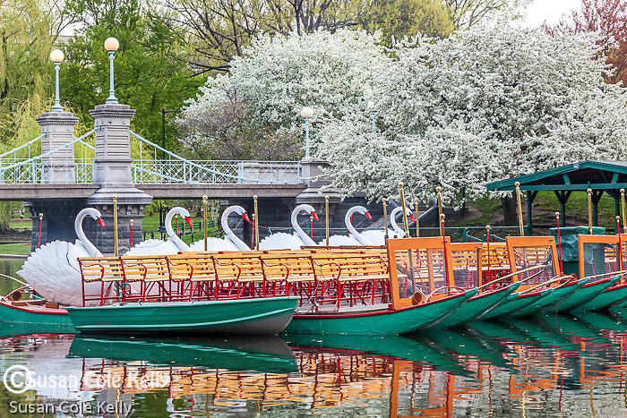 Apple blossoms adorn Swan boats and the Victorian bridge in the Boston Public Garden, Back Bay, Boston, MA, USA