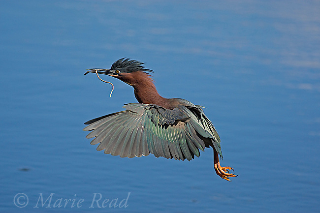 Green Heron (Butorides virescens), carrying nest material in flight, Orlando, Florida, USA
