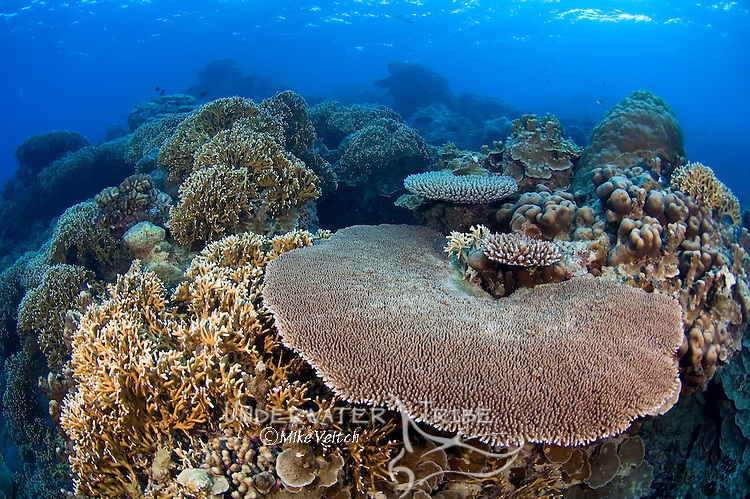 A variety of hard corals on shallow reef, Porites sp., Acropora sp., Yap, Federated States of Micronesia, Pacific Ocean