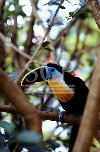 Roraima State, Brazil. Black-beaked channel-billed toucan (Ramphastos culminatus, R. Vitellinus).