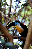 Roraima State, Brazil. Black-beaked channel-billed toucan (Ramphastos culminatus, R. Vitellinus).