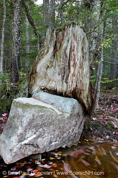 Decaying tree stump along the Swift River in the White Mountain National Forest of  New Hampshire USA during the autumn months