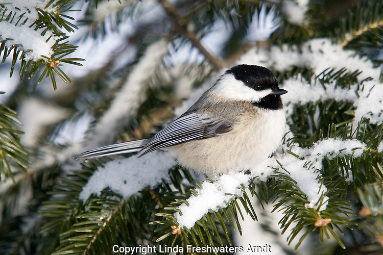 Black-capped chickadee in the winter