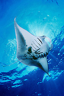 reef manta ray or coastal manta, feeding on plankton, Manta alfredi, Kona Coast, Big Island, Hawaii, USA, Pacific Ocean