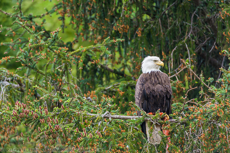 Bald Eagle, Cordova, Alaska