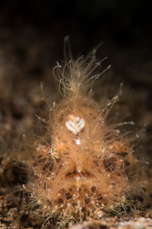 Dumaguete, Dauin, Negros Oriental, Philippines; an orange colored, juvenile striped frogfish, the hairy variation, hiding amongst algae on the sandy bottom
