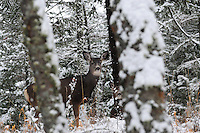 Montana Mule Deer in winter snow.