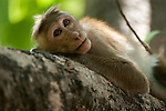 A juvenile rests in a tree branch. Pollonoruwa town, Sri Lanka. IUCN Red List Classification: Endangered