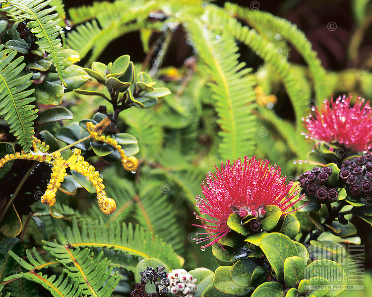 Lehua blossoms with dew drops in moist Hawaiian rainforest