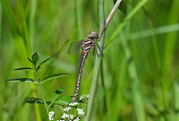 339600009 a wild teneral male shadow darner aeshna umbrosa perches on bogside water plants in central modoc county california
