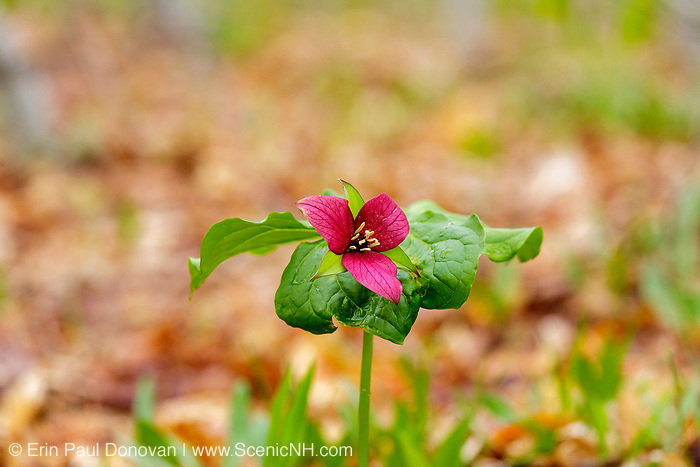 Red Trillium - Trillium erectum - in New Hampshire during the spring months. This plant is part of the Lily family and has three maroon or reddish brown petals.