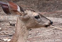 0528-1104  Central American White-tailed Deer, Belize, Female Deer, Odocoileus virginianus truei  © David Kuhn/Dwight Kuhn Photography