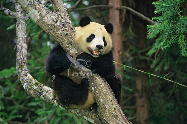 Giant Panda (Ailuropoda melanoleuca) in tree, Wolong Nature Reserve in the Qionglai Mountains, Sichuan Province of central China.