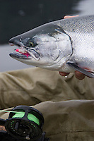 Kayak fishing for Silver salmon (Coho) in the Valdez, Alaska area of south central Alaska with Pacific Mountain Guides outfitter Otto Kulm. Fishing was done in both salt water and fresh water in the Prince William Sound region. Otto Kulm holds a nice salt water fly caught Coho.