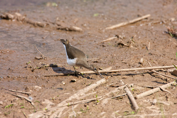 Common Sandpiper (Actitis hypoleucos) Foraging for food in the mud and shallows. Has a habit of bobbing up and down, and its rapid, stiff-winged flight low over the water. Summer visitor to upland rivers, lakes, and other bodies of water. Seen Mostly on it's own.