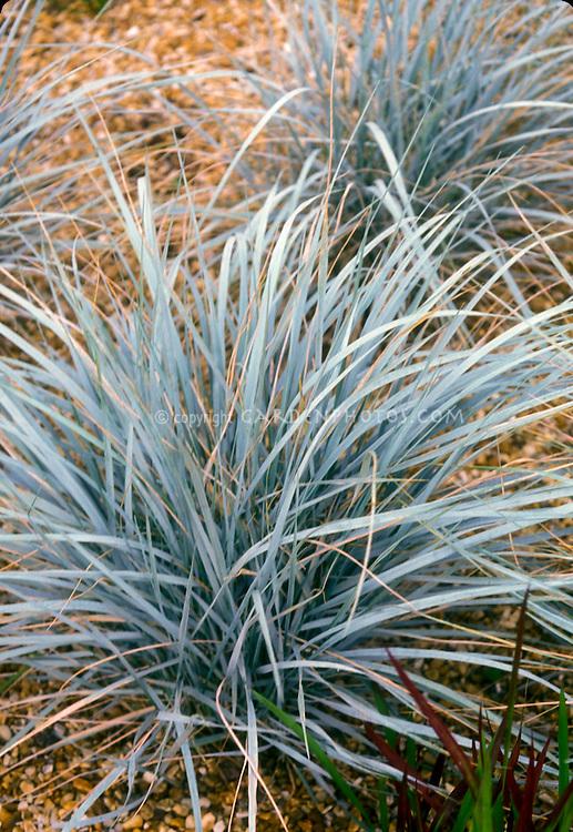 Elymus magellanicus Ornamental Blue Wheat Grass