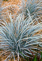 Elymus magellanicus Ornamental Blue Wheat Grass