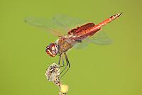 388550014 a wild male red saddlebags tramea onusta perches on a tree limb in southeast regional park travis county texas