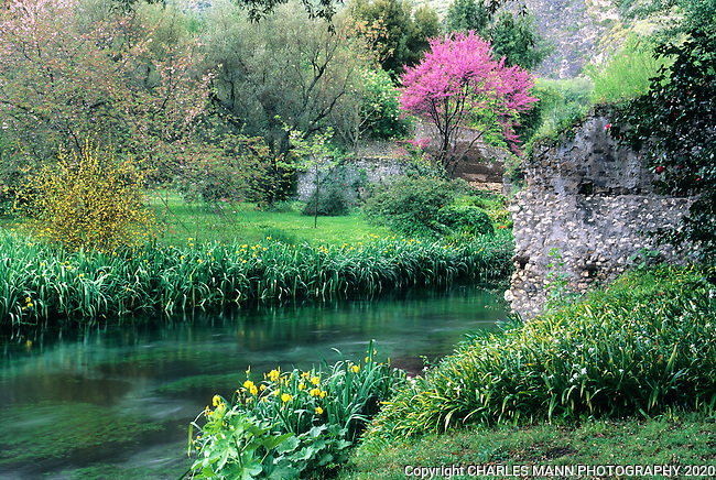 A redbud bursts into spring bloom along the banks of the Ninfa River at the Ninfa gardens in central Italy near Rome.