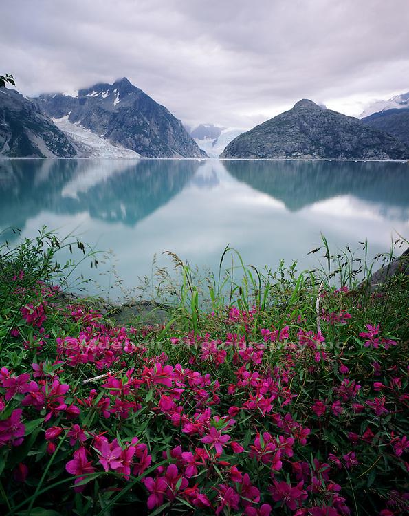 """Dwarf Fireweed, Northwestern Arm Kenai Fjords NP  ALASKA"""