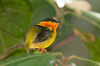 Orange-collared Manakin, Carara, Costa Rica, Central America
