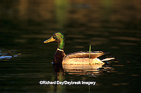 00729-00711 Mallard (Anas platyrhynchos)  male in wetland   Marion Co.   IL