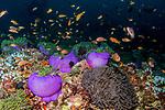 Purple anemones, Radianthus magnifica, Maldives