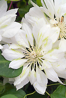 Clematis 'Yukiokoshi' climbing vine with yellow and green flowers